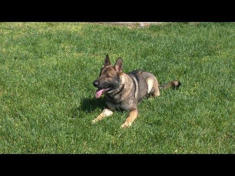 Garth von Prufenpuden 17 Mo's Off Site Public Obedience & Play Training Dog For Sale