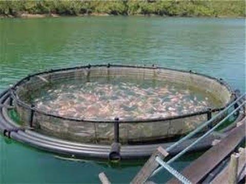 Acuicultura cultivo de peces de aguas c lidas tvagro for Jaulas para cria de peces