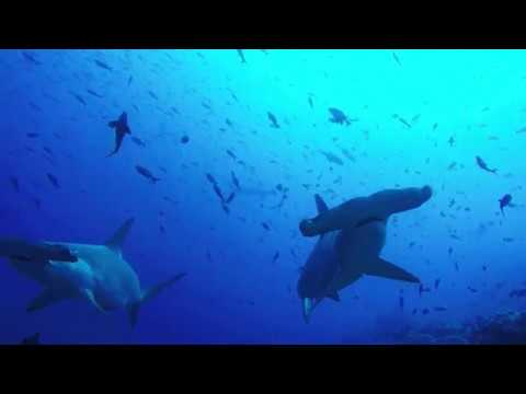 Huge School of Scalloped Hammerhead Sharks in the Galapagos Islands