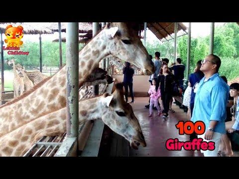 OMG!!!! Feeding giraffe a lot 100 body