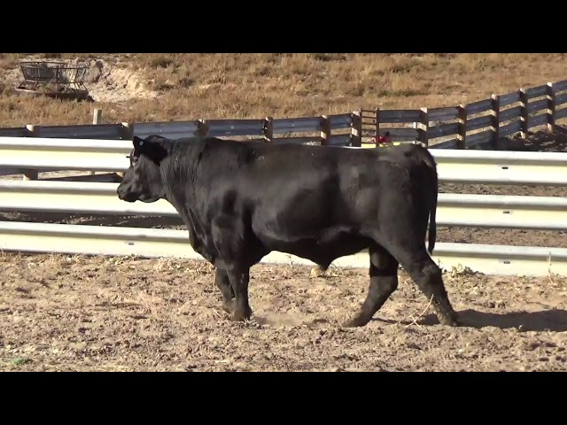 Connealy Angus Lot 249