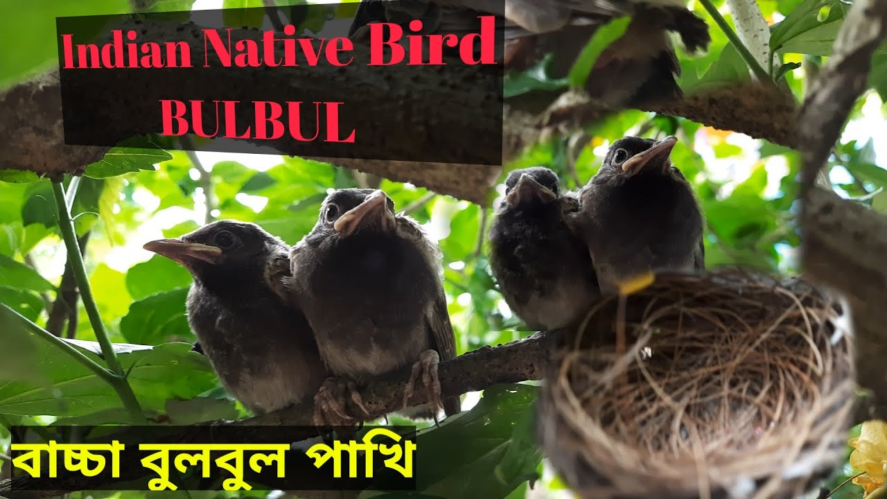 INDIAN NATIVE BIRD।।BULBUL Full HD