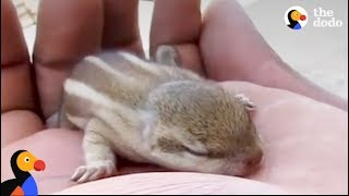 Baby Chipmunk That Falls From Nest Returned to Mom by Rescuers | The Dodo