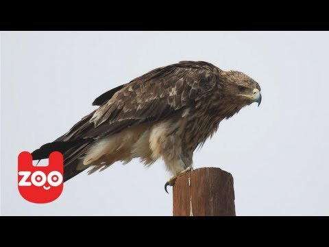 Wounded Eagle Learns to Fly Again