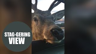 Remarkable moment stag visits drivers at car door