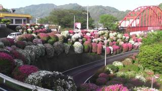 朝7時に、つつじの花の咲き具合を観に行って参りました。 7分咲きとい...