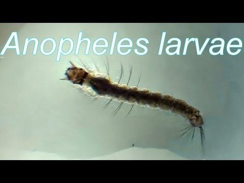 Anopheles  larvae