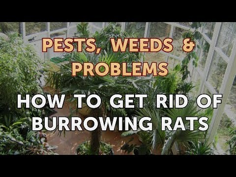 How To Get Rid Of Burrowing Rats