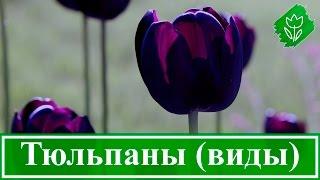 Виды и сорта садовых тюльпанов(, 2015-10-15T08:59:50.000Z)