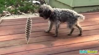 Perros VS PLUMAS! WTF VIdeos de Risa 2015 - Videos de Risa Gatos y Perros