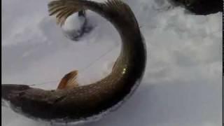 Lydekų žūklė žiemą