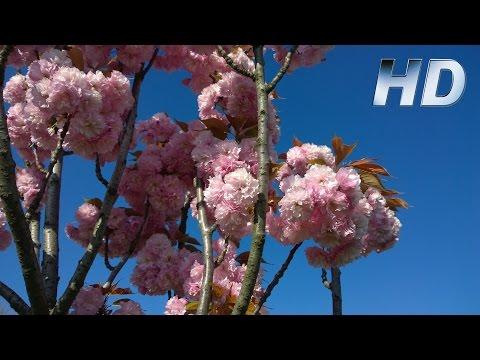 Beautiful Nature Flowers on Trees Video Full HD - Beautiful Flowering Trees - Amazing Nature 1080p