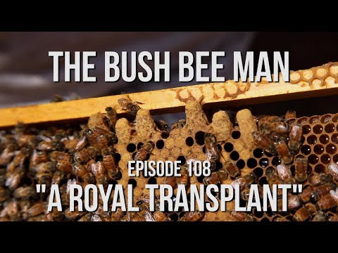 """Transplanting Queen Bee Cells from Splits Part (1 of 2)  - Episode 108: """"A Royal Transplant"""""""