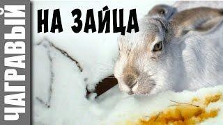 Охота на зайца с капканом | мое новое видео | Russian crazy trapping rabbit