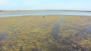 Охота с веймарской легавой на водоплавающую дичь 2011г. Краснодарский край, ст. Староминская