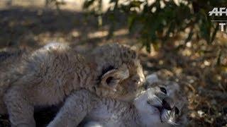 Carnet vert : les premiers lionceaux-éprouvettes sont nés en Afrique du Sud