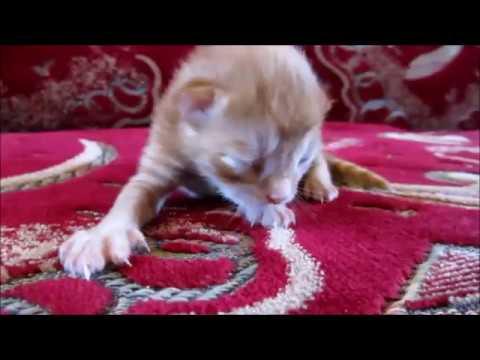 Новорожденный рыжий котёнок.