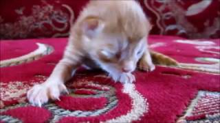 Новорожденный рыжий котёнок. Newborn red kitten