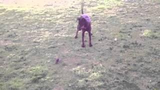 Manchester terrier 5 month first rat