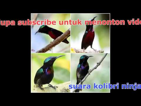 suara kolibri ninja jos untuk mastering(top mastering)