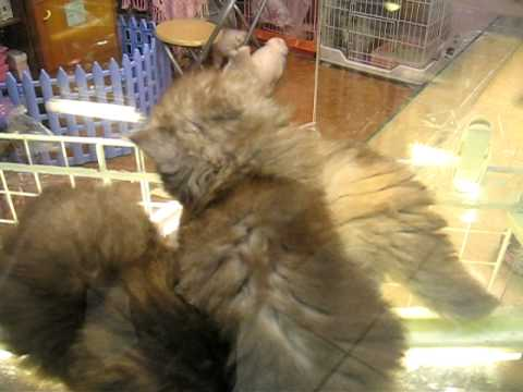 Cats for sale in 士林 Shilin night market in Taipei, Taiwan