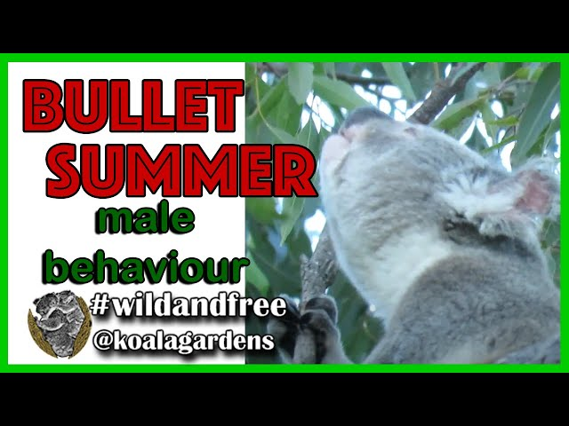 Bullet & Summer male koala behaviour