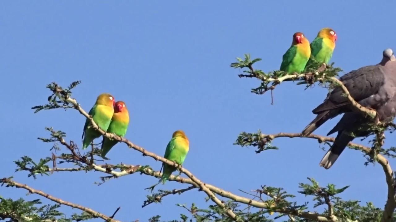 Lovebird Di Alam Liar Ternyata Seperti Ini Youtube