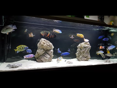 Mixed Cichlid Tank - All Male - 238 Gallon (900 Liter)