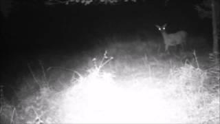 Kronhind reagerer på sorte dioder - Deer react on Black IR