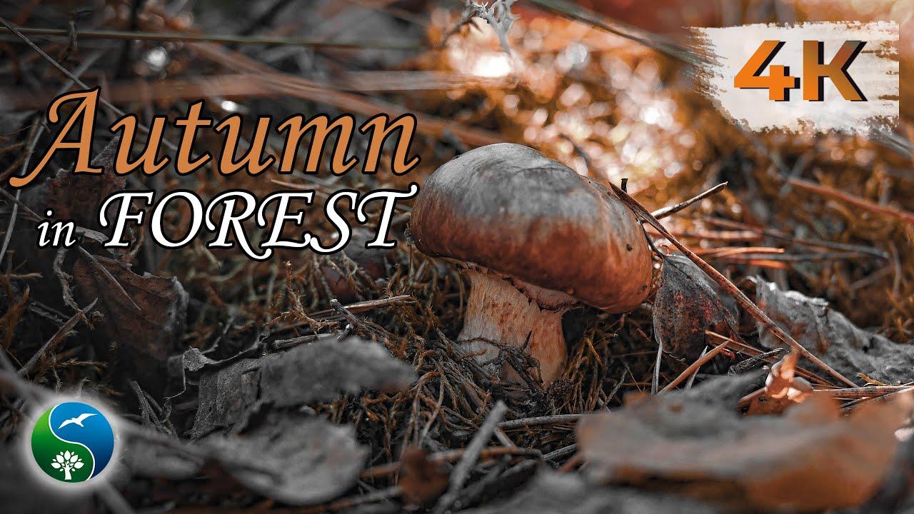 Красивая Природа с Пением Птиц в Осеннем Лесу | Тихая Грибная Охота |  Для Релаксации и для Души