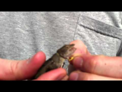 how to make a lizard trap
