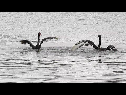 В Казани на «Черном озере» поселились Зигфрид и Одиллия