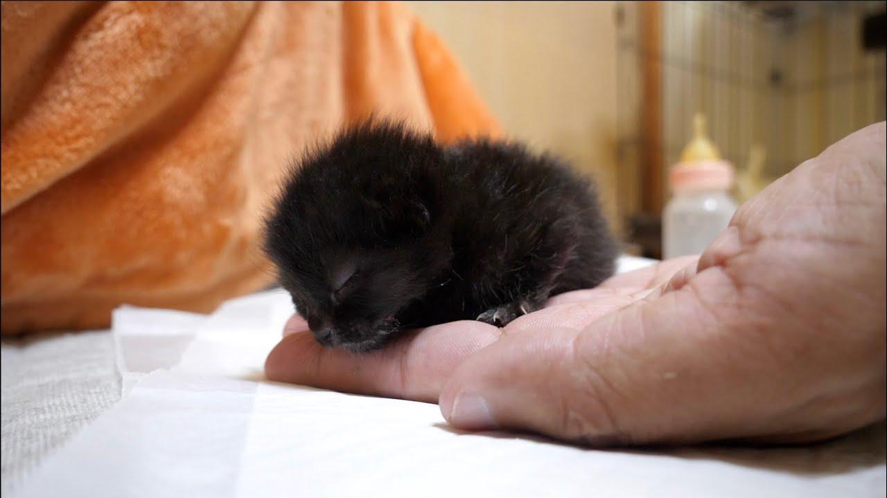 【子猫】ミルクを飲んで掌の上で寝てしまった子猫が可愛すぎた
