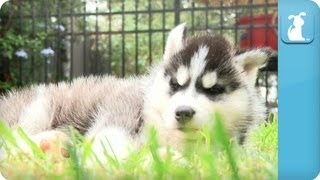 Husky Puppy Falls Asleep