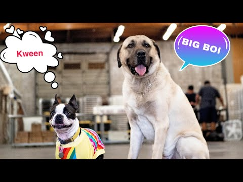 two-boston-terriers-play-with-an-anatolian-shepherd
