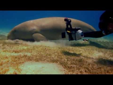 Dugong and big green turtles/Дюгонь и большие зеленые черепахи