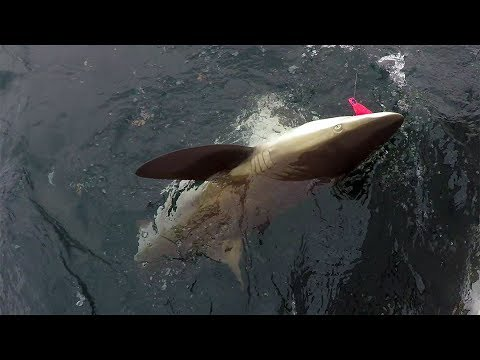 Sharks & Tuna, Offshore New England Fishing