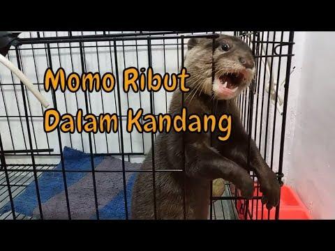 Begini suara berisik otter berang berang - Momo Otter Indonesia