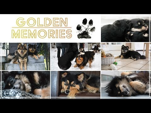 Golden Memories - My life with finnish lapphund