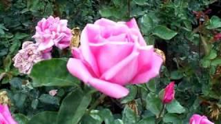 Rose Perfume Delight.mov