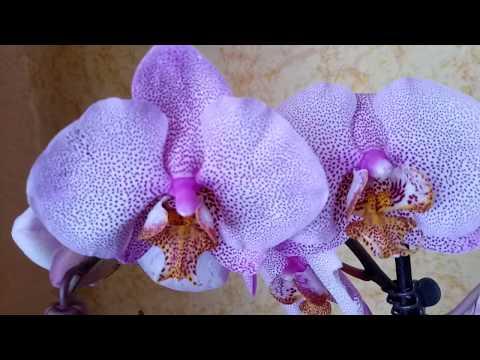 Орхидеи  новинки -  МАНХЭТТЕН и КАМЕННАЯ РОЗА ! Мечты сбываются !