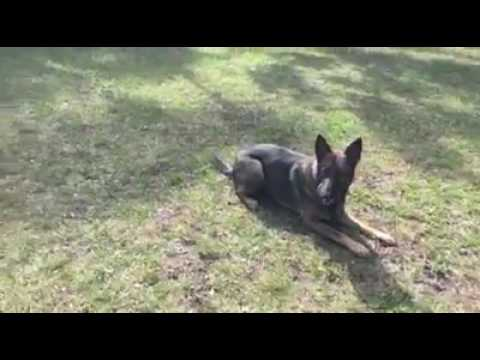 real-life-|-off-leash-control-|-solid-k9-training-dog-training