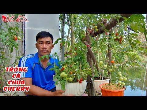 Chia Sẻ Kinh Nghiệm Kỹ Thuật Trồng Cà Chua Cherry Làm Rau Quả Sạch Tại Nhà | NKGĐ