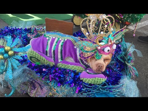 Rescue Dogs Who Need Forever Home Get Dressed Up For Mardi Gras Parade