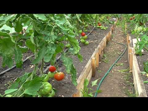 Болезни помидор, столбур томата
