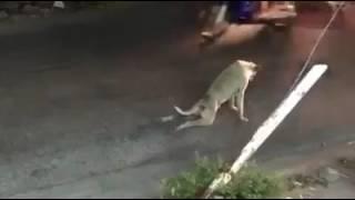 Собака притварилась больной и обманула машиниста заставив его выйти
