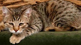 Американский бобтейл))) // American Bobtail cat )))