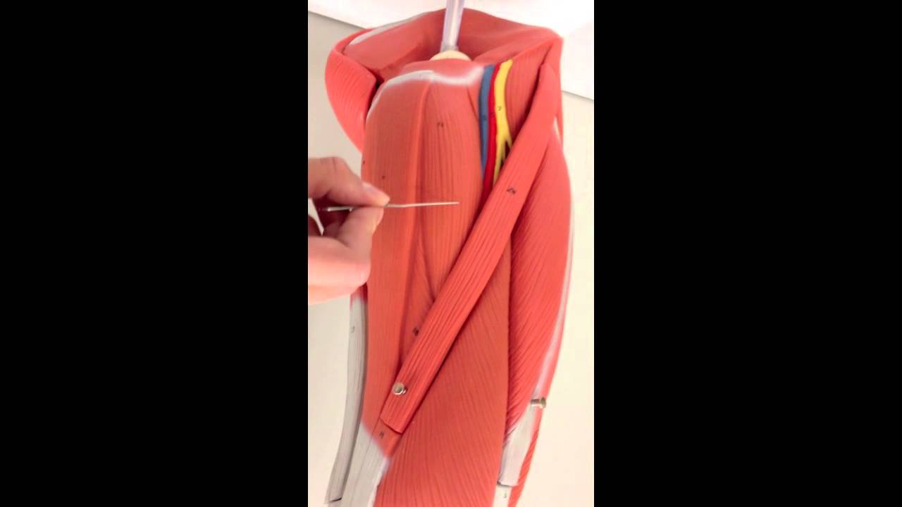 Lower Extremity Muscles on Model - YouTube