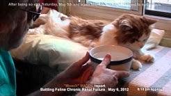 hqdefault - Feline Diabetes And Chronic Renal Failure