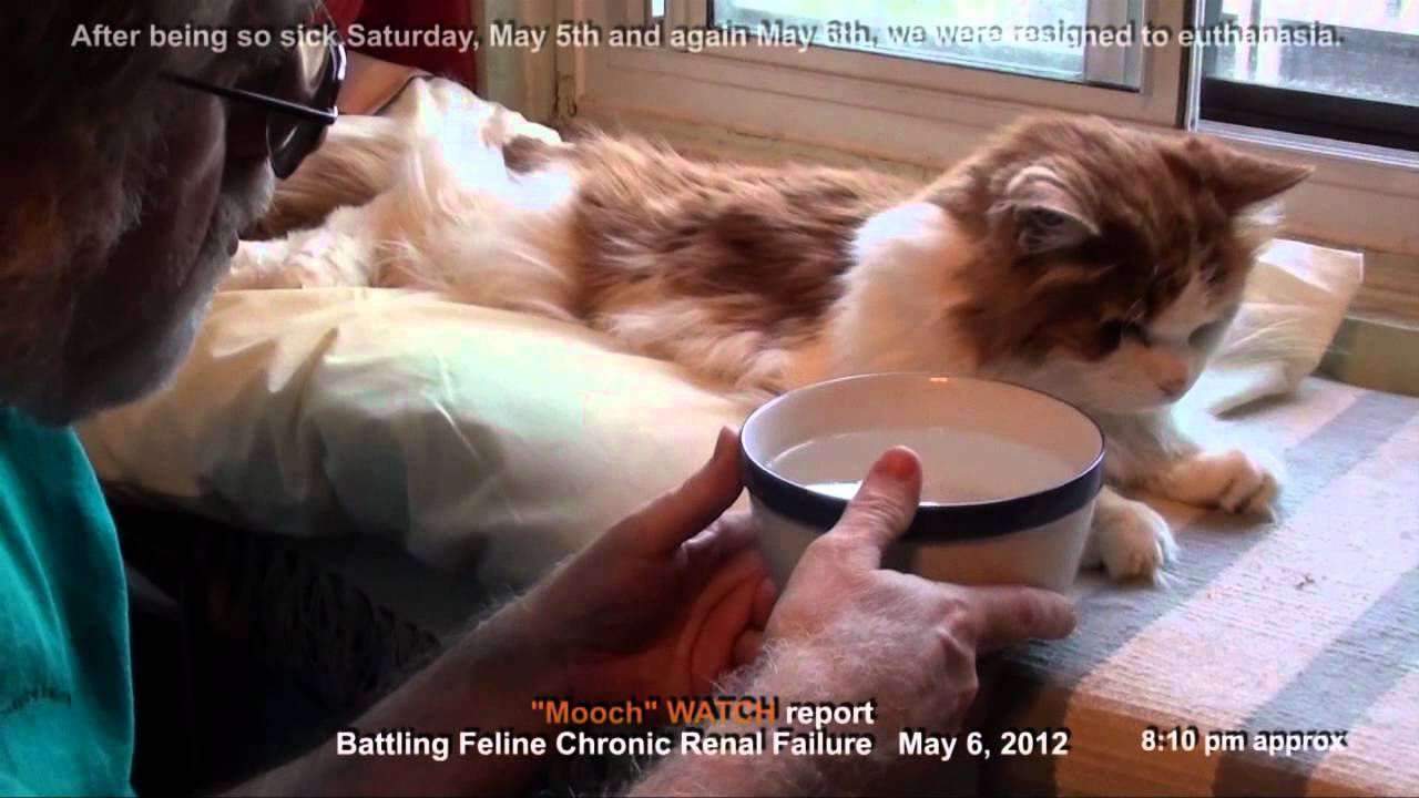 Feline Chronic Renal Kidney Failure Dehydration Crash Facing Euthanasia The Cat Came Back Youtube